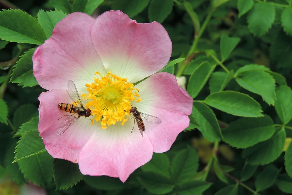 Rose, Flower, Animals.