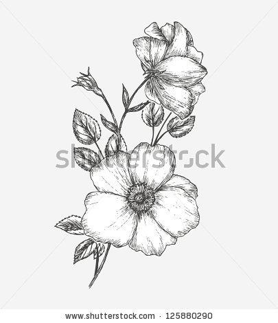 Vintage Dog Rose Sketch Flower Background Stock.