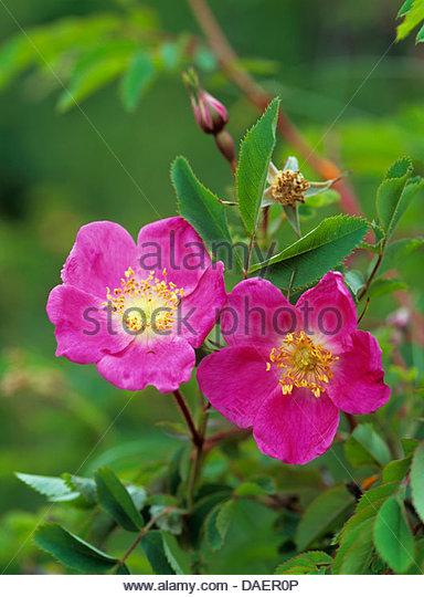 Rosa Pendulina Rosa Pendulina Stock Photos & Rosa Pendulina Rosa.