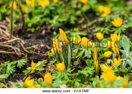 Winterling, Eranthis, Hyemalis Stock Photo, Royalty Free Image.
