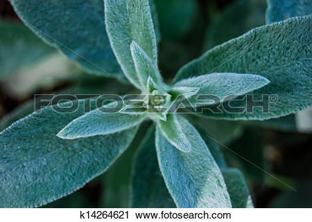 Stock Photography of Hairy leaves of garden plant, stachys.