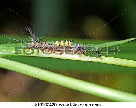 Stock Photography of Hairy Worm eating leaves. k13202420.