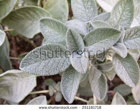 Hairy Leaves Stock Photos, Royalty.