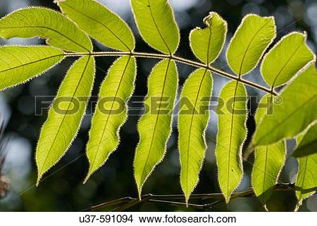 Stock Photo of Shooting backlit hairy leaves at Semengoh Wildlife.