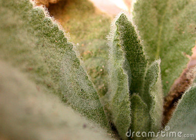 Hairy Leaves Stock Photo.