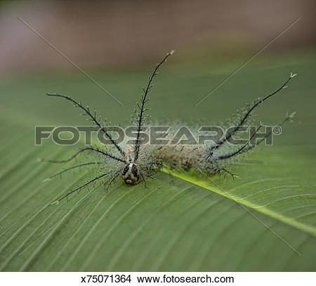Stock Photo of Poison, Hairy Caterpillar on leaf x75071364.
