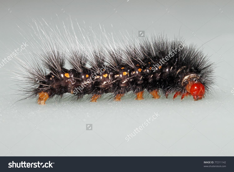 Hairy Caterpillar Red Head Lepidoptera Larvae Stock Photo 77211142.