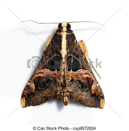 Stock Photo of hairy moth with large wings and serrated antennae.