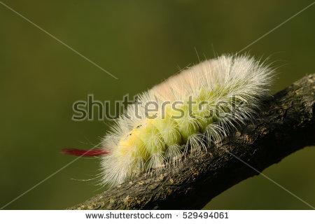 """hairy Caterpillar"" Stock Photos, Royalty."
