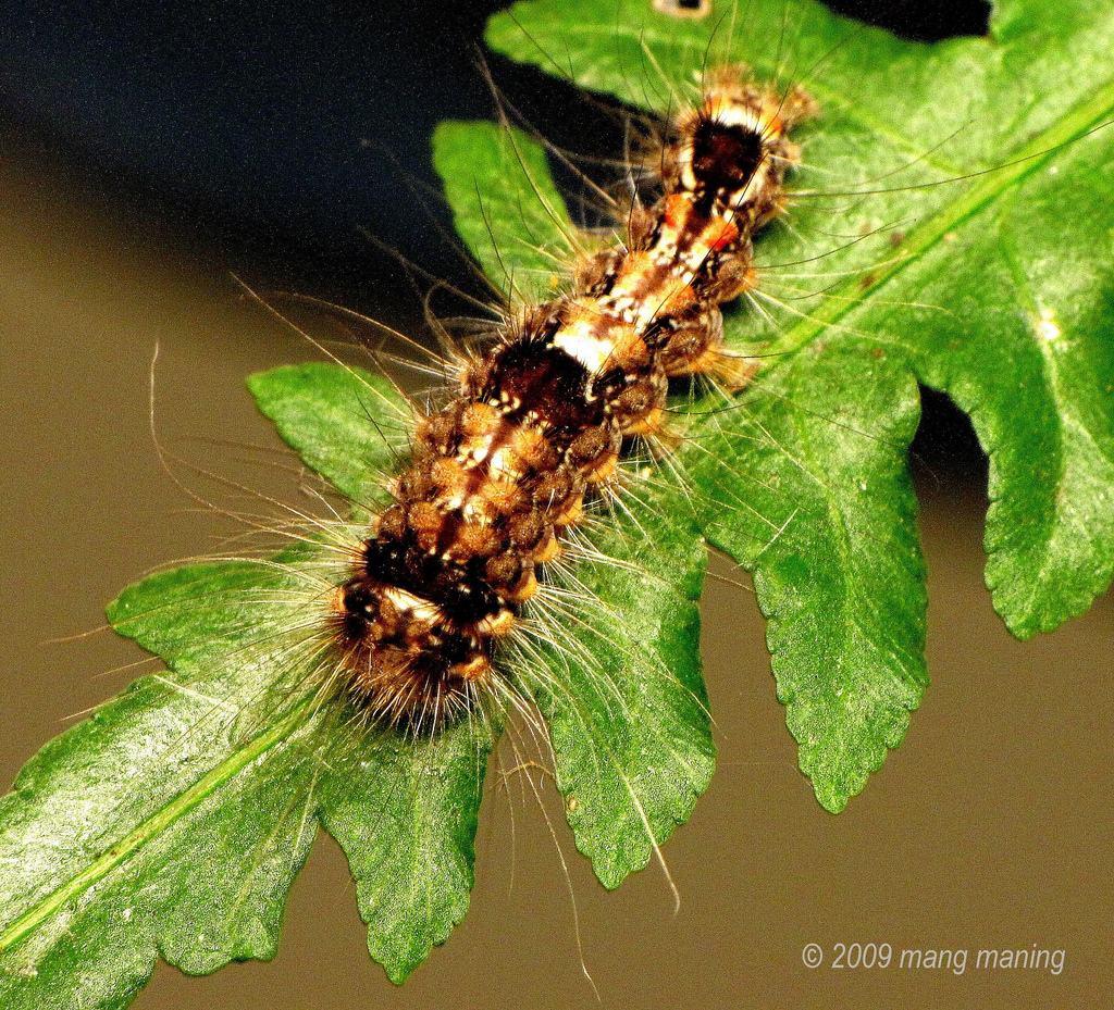 FP: Higad or Hairy Caterpillar.
