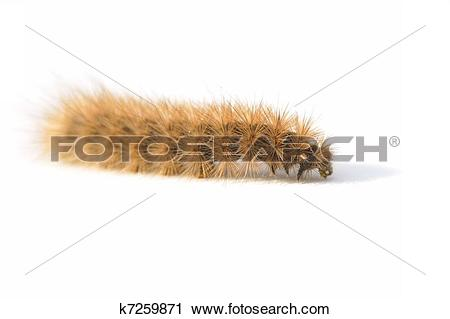 Stock Photography of Hairy caterpillar k7259871.