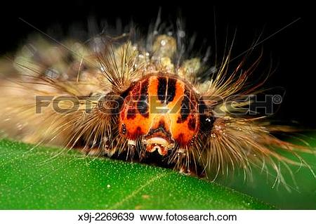 Stock Photograph of close up of hairy Centipede, borneo x9j.