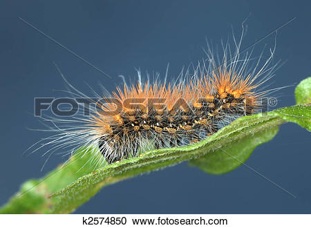 Stock Photography of Hairy caterpillar k2574850.
