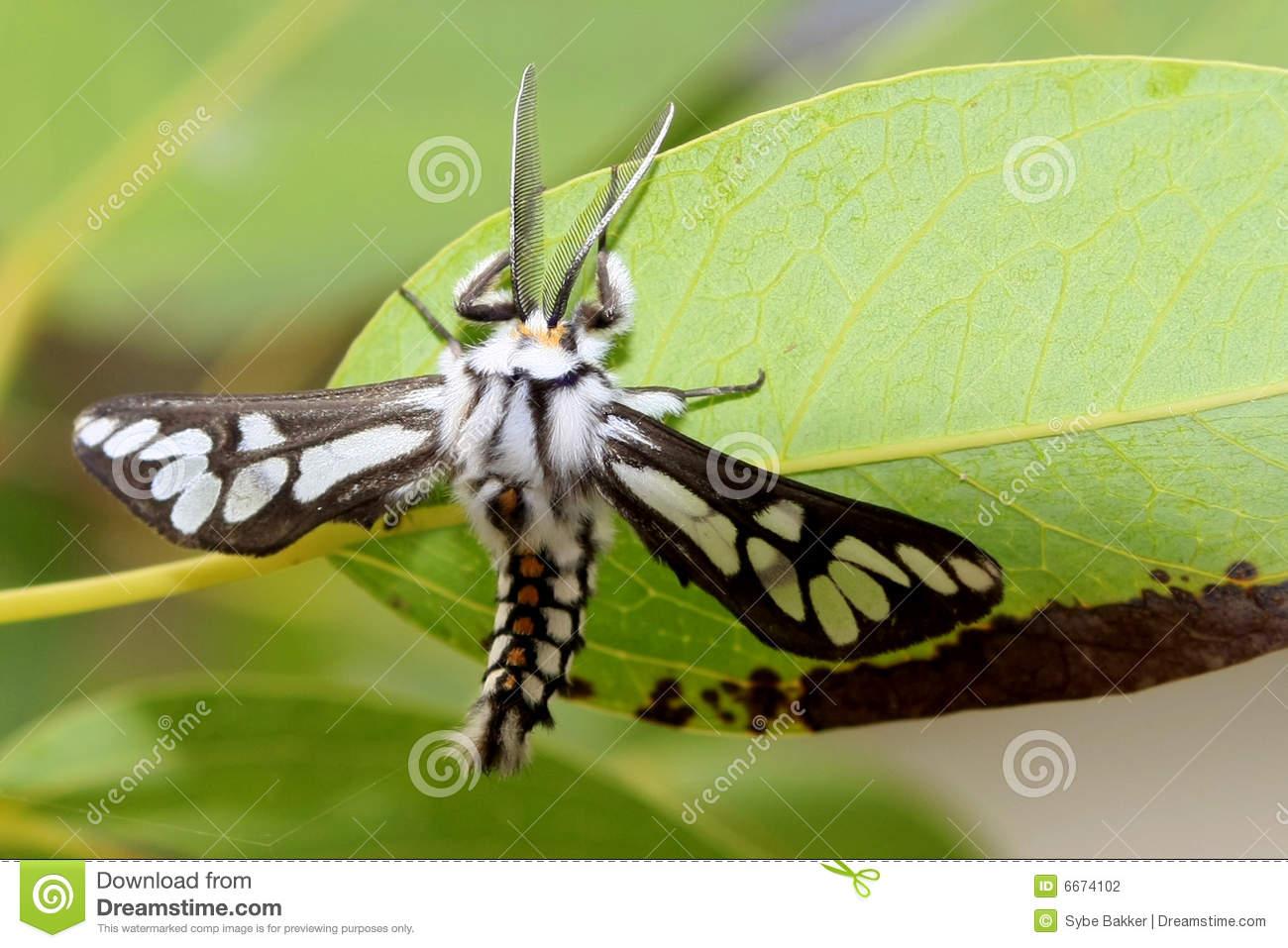 Hairy Moth Stock Photography.