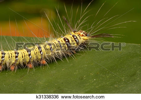 Stock Images of Black and yellow hairy caterpillar with strange.