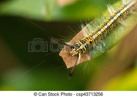 Stock Images of hairy caterpillar on the leaf csp43713256.