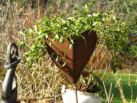 Free photo Halbschmarotzer Mistletoe Viscum Sandalwood Crop.