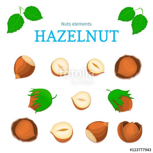 Vector set of nuts. Hazelnut nut fruit, whole, peeled, piece of.