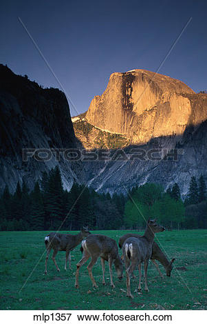 Picture of Mule deer below Half Dome, Yosemite Valley mlp1357.