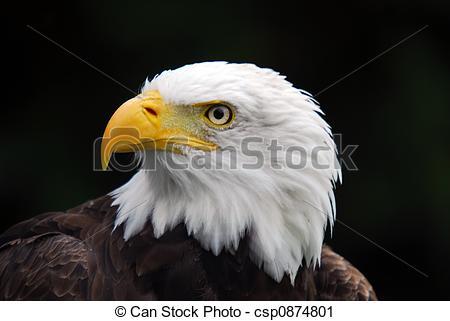 Stock Photography of American Bald Eagle (Haliaeetus leucocephalus.
