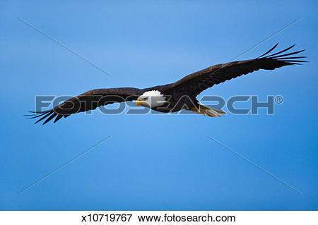 Picture of Bald eagle (Haliaeetus leucocephalus) in flight.