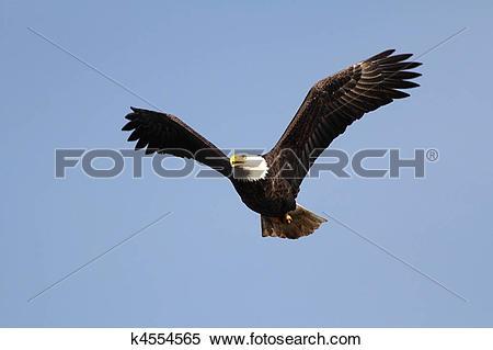 Stock Image of Adult Bald Eagle (haliaeetus leucocephalus.