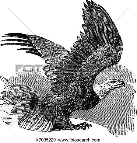 Clip Art of Bald Eagle (Haliaeetus leucocephalus), vintage.