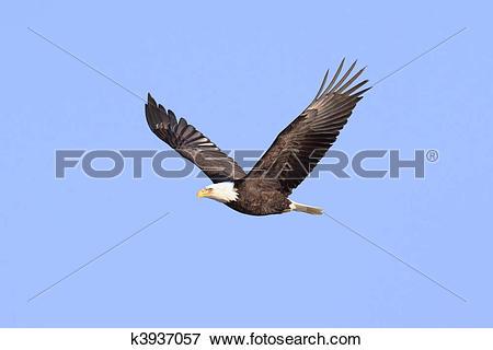 Picture of Adult Bald Eagle (haliaeetus leucocephalus) k3937057.