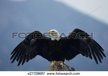Picture of Bald eagle (Haliaeetus leucocephalus) landing, Colorado.