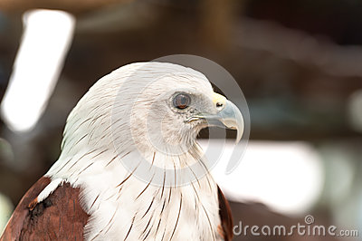 Brahminy Kite (Haliastur Indus) Or Red.