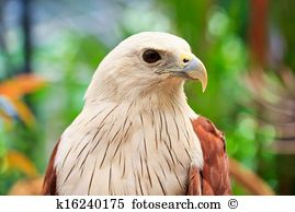 Brahminy kite haliastur indus mindanao Stock Photos and Images.