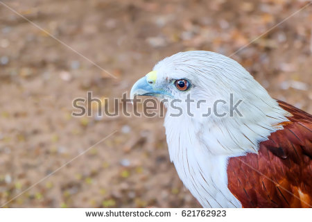 Haliastur Indus Stock Images, Royalty.
