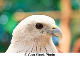 Stock Image of Brahminy Kite (Haliastur indus) stand on the branch.