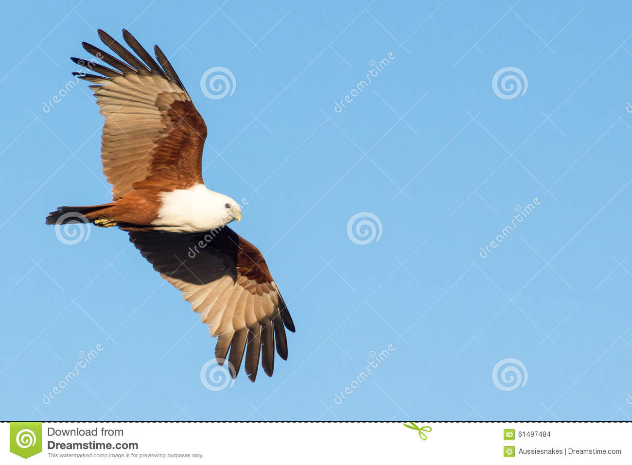 Brahminy Kite (Haliastur Indus) In Flight Stock Photo.