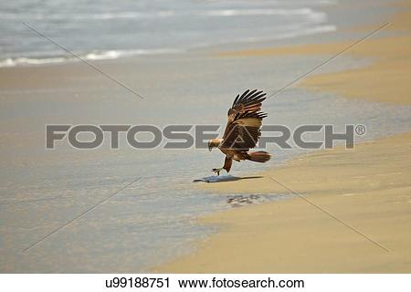 "Stock Photography of ""Brahminy kite landing on beach (Haliastur."