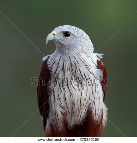 Brahminy Kite Haliastur Indus Redbacked Seaeagle Stock Photo.
