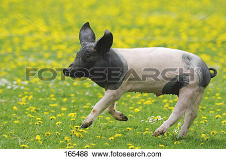 Pictures of Swabian Hall pig.