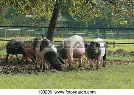 Stock Image of Swabian Hall pigs on meadow 139295.