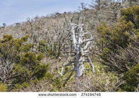 """""""mountain Yew"""" Stock Photos, Royalty."""