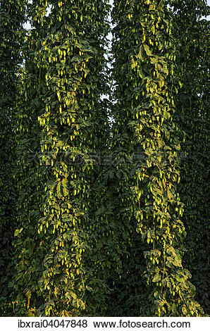 Pictures of Erntereifer Echter Hopfen (Humulus lupulus.