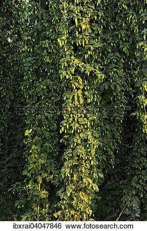 """Stock Images of """"Hop plants (Humulus lupulus), ready for."""