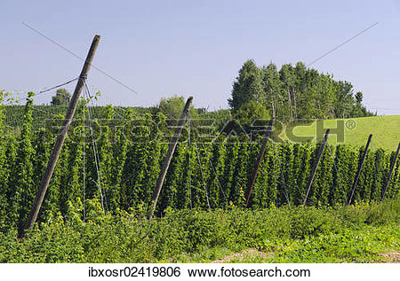 """Stock Images of """"Cultivation of Hops (Humulus lupulus) in the."""
