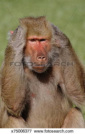 Picture of Hamadryas Baboon (Papio hamadryas) covering ears.