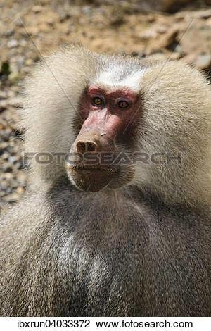 "Stock Photo of ""Hamadryas Baboon (Papio hamadryas), Eritrea."
