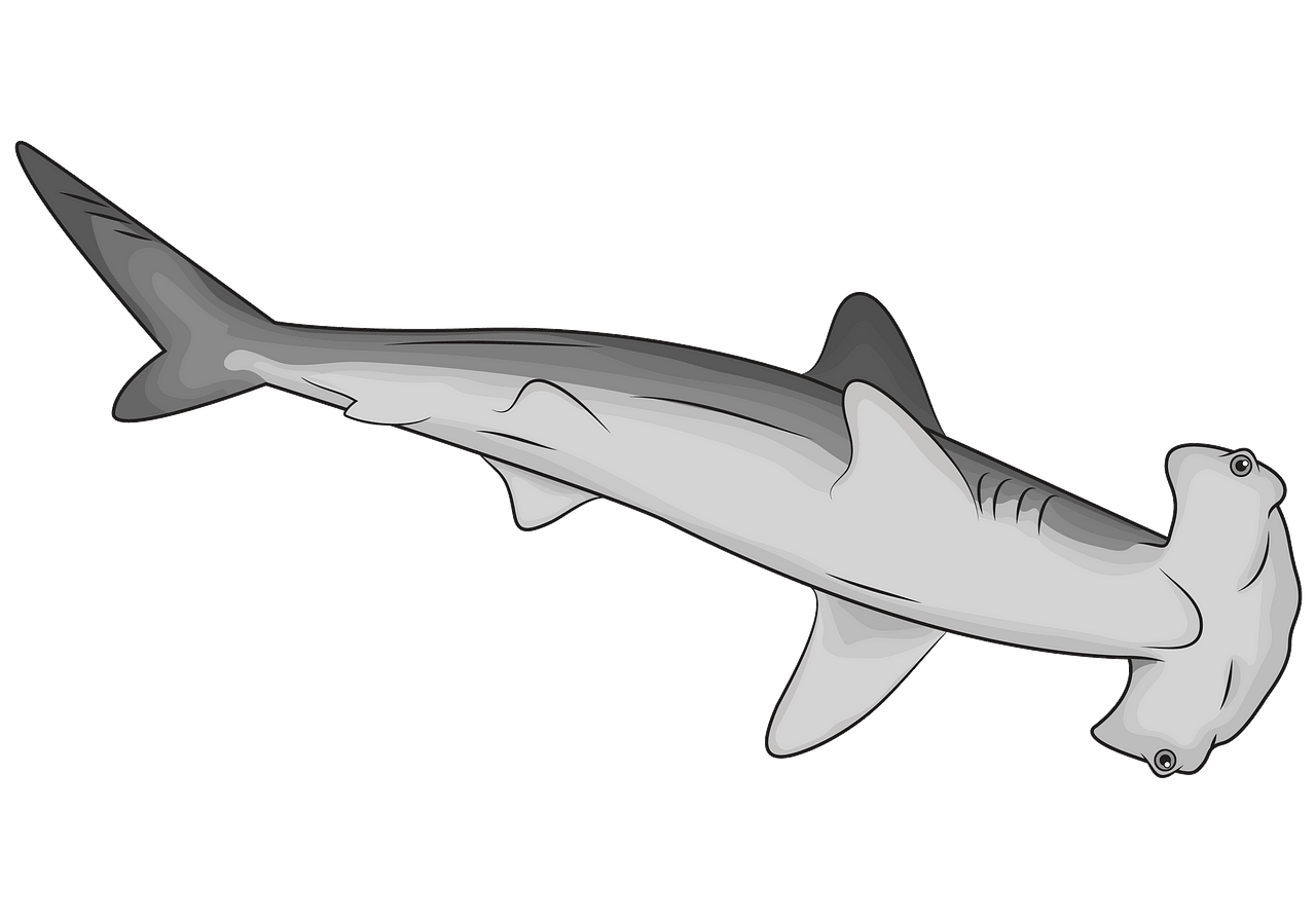 Hammerhead shark clipart. Free download..