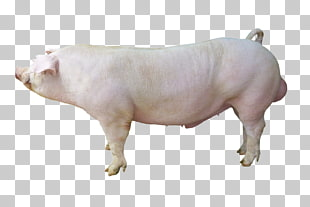 13 hampshire Pig PNG cliparts for free download.