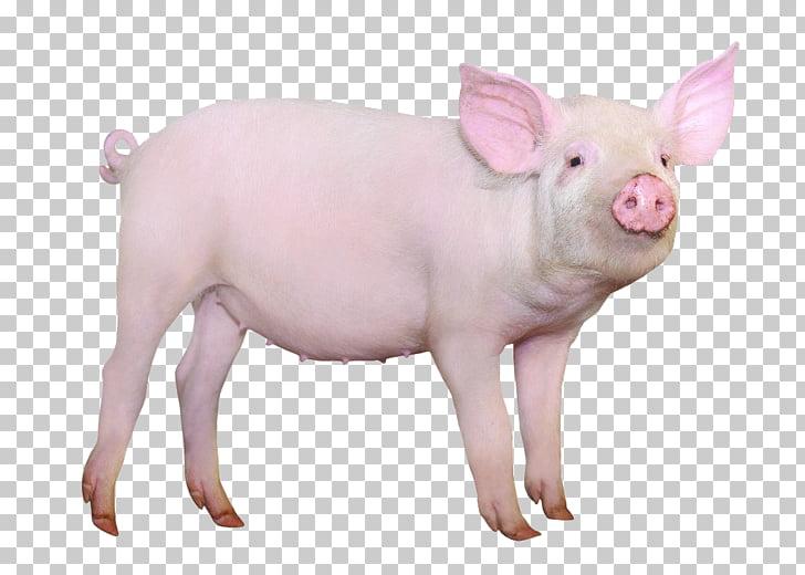 Hampshire pig Gxf6ttingen minipig Domestication of animals.