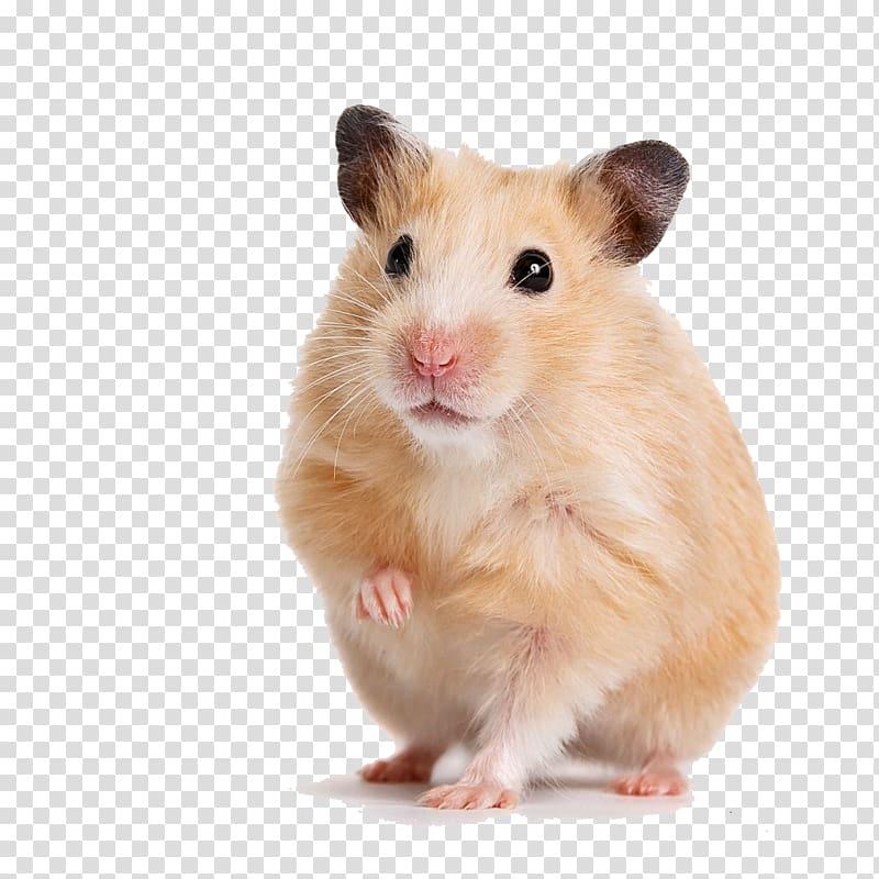 Brown hamster, Golden hamster Gerbil Guinea pig Cage, hamster.