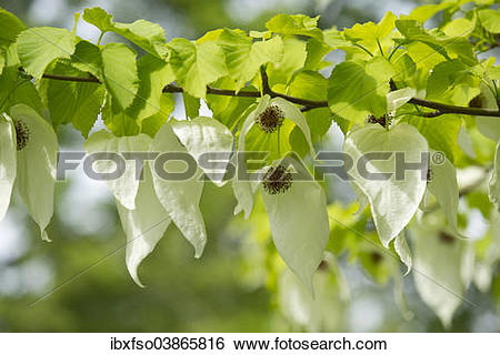 "Stock Images of ""Handkerchief tree (Davidia involucrata) flowers."