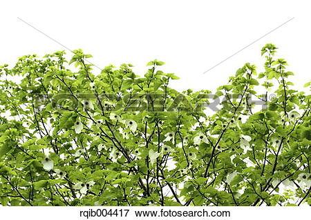 Picture of Handkerchief Tree rqib004417.